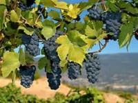 Виноградники Шато