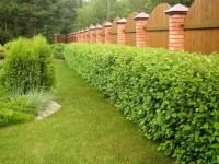 Растения для живой изгороди быстрорастущие. Живые изгороди в ландшафте