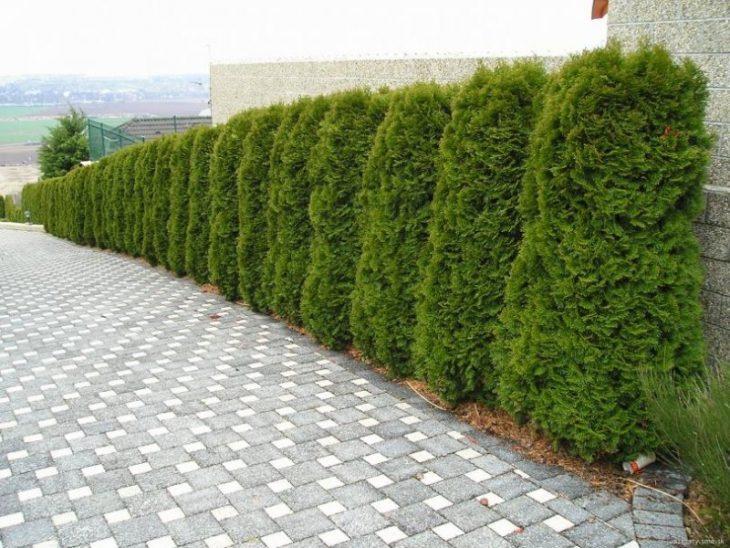живая изгородь многолетняя вечнозеленая