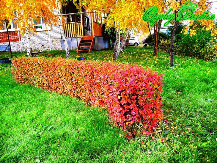 кустарники для живой изгороди фото