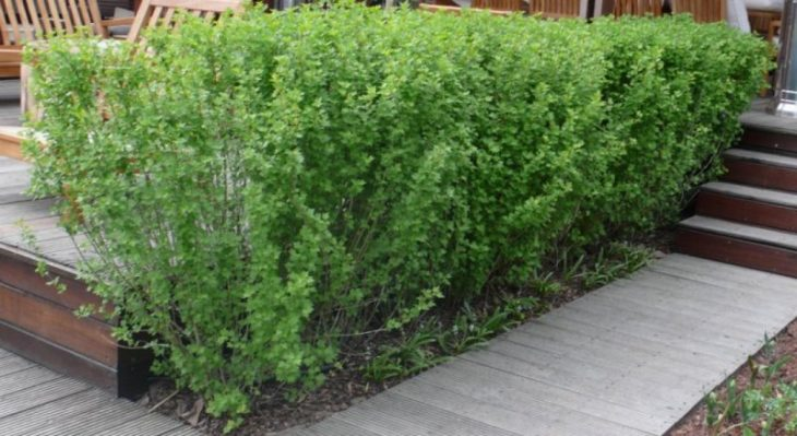 кусты для живой изгороди быстрорастущие